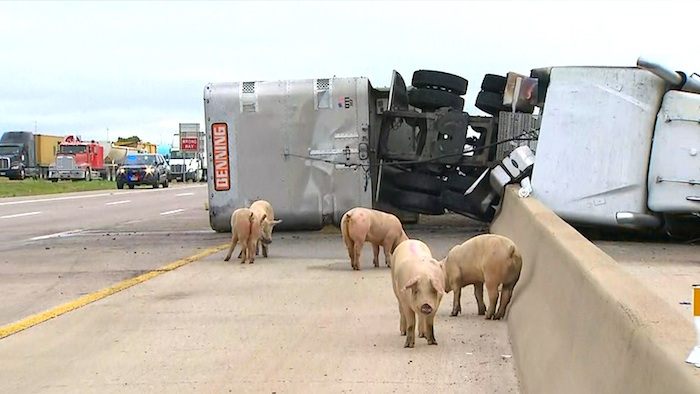 Interstate 45 Shut Down, Pigs on Road After Semi Crash in Wilmer