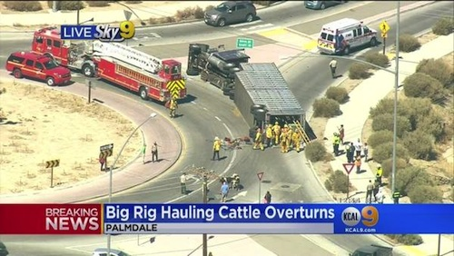 Big rig spills cattle